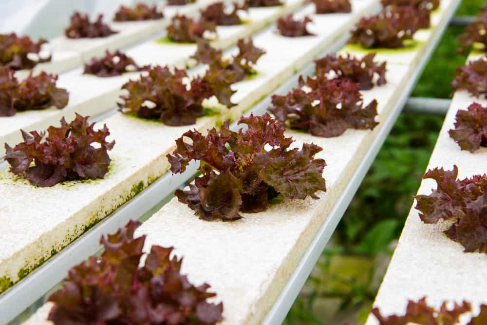 Hydroponic lettuce farms in Japan